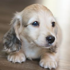 Colby - This sweet boy went to live in AZ with an awesome family! Golden Dachshund, Cream Dachshund, Dachshund Breed, Long Haired Dachshund, Dachshund Puppies, Cute Puppies, Pet Dogs, Dachshunds, Weiner Dogs