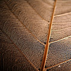 skeleton leaf, very cool picture