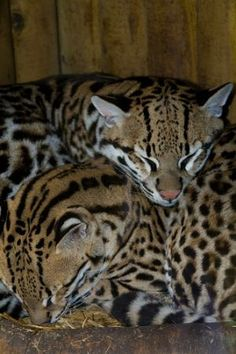 The ocelot, also known as the dwarf leopard, is a wild cat distributed extensively over South America including the islands of Trinidad and Margarita, Central America, and Mexico. They have been reported as far north as Texas. North of Mexico, they are found regularly only in the extreme southern part of Texas, although there are rare sightings in southern Arizona.