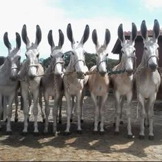 Mules. Those are some big ears!!!!!