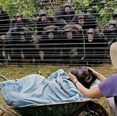 These incredible Chimpanzees are from the Cameroon Sanaga Yong  Chimpanzee Rescue Centre and they are saying a special good bye to one of their family members who died of a heart attack. This amazing photo is from Butterbin's Facebook page that was shared by a Facebook friend!!
