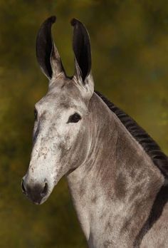 Pega donkey