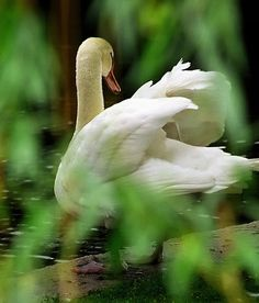 """milascioandare: """" David Ohmer Boston - Public Gardens """"Swan through the Willow Leaves"""" """" Beautiful Swan, Beautiful Birds, Beautiful Things, White Swan, Black Swan, Animals For Kids, Animals And Pets, Swans, Duck And Ducklings"""