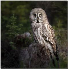 Jørn HagenThe Owl Pages  Great Grey Owl (Strix nebulosa) Hedmark in Norway.  https://www.facebook.com/jornhagenfoto