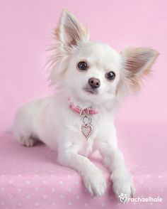 """Patsie (Long-haired Chihuahua) """"Absolutely Fabulous"""" even if I do say so myself (pic by Rachael Hale)"""