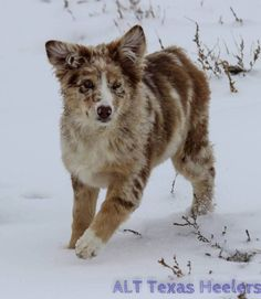 ALT Texas Heelers, Texas Heeler, Purebred and Hybrid Puppies
