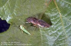 Glassy-winged Sharpshooter: Glassy-winged (above) and blue-green sharpshooter adults on grape leaf.