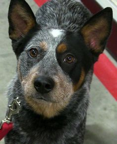 Meet Diesel, a Petfinder adoptable Australian Cattle Dog (Blue Heeler) Dog | Texico, IL | Diesel is approximately 1yr old. He is new to the rescue so updates are coming soon. He is a very...
