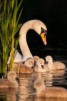 Mute Swan cygnets, Cygnus olor - Kew Pond, London, May. Pretty Birds, Beautiful Birds, Animals Beautiful, Beautiful Swan, Beautiful Family, Beautiful Pictures, Cute Baby Animals, Animals And Pets, Wild Animals