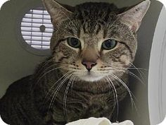 Staten Island, NY - Domestic Shorthair. Meet SWAGLER, a cat for adoption. http://www.adoptapet.com/pet/11972087-staten-island-new-york-cat