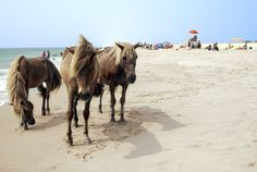 Besides unspoiled beaches, Assateague and Chincoteague—on the border of Virginia and Maryland—are renowned for their wild horses.
