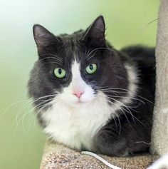 In our care since July, Millie is six-years-old and long overdue for a special place and family she can call her own, forever. Help her find that special someone by sharing this far and wide! Sweet Millie is also very affectionate and will roll about like a big kitten to engage you into a longer petting session. She will listen to all of your stories with a collected expression and place her pretty head into your hand for special effect. Find out more by clicking her picture.