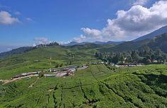 Tea plantation Puncak Bogor West Java Indonesia