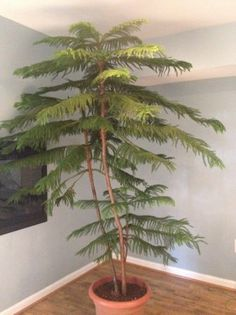 Lovely Norfolk Island Pine One Day My Baby One Will Look Like This U003c3. Indoor  GardeningIndoor PlantsNorfolk IslandPlant ... Amazing Pictures