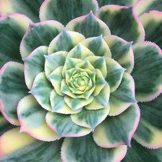 やたらキレイだから  そんな気はしてたけど やっぱり咲くんでしょうか  大きくてお気に入りだったのに(    )  #多肉 #多肉植物 #succulent #aeonium #アエオニウム #サンバースト by chiiicota821