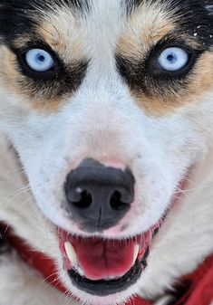 A siberian husky is ready to start at the sled dog race in Schoeneck, eastern Germany on Jan. 28. (Hendrik Schmidt/AFP/Getty Images) #