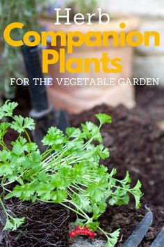 Use herb companion plants to keep garden pests from eating your crops. These delicious and fragrant herbs can be used through the vegetable garden as a way to deter pests and help the plants around them. See the complete list! Herb Garden Design, Veg Garden, Tomato Garden, Garden Pests, Fruit Garden, Home And Garden, Vegetable Gardening, Garden Ideas, Veggie Gardens