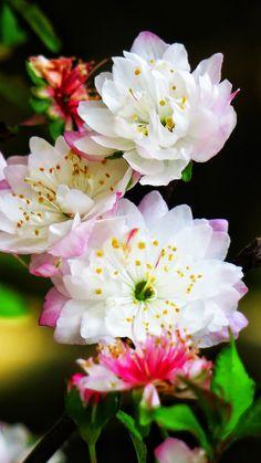 Sakura, cherry flowers, blossom, spring, 720x1280 wallpaper