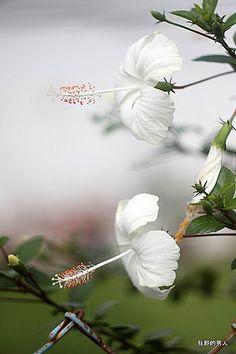 比赛 Flowers Gif, Fresh Flowers, White Flowers, Beautiful Flowers, Hibiscus Tree, White Hibiscus, Photo Montage, Unique Plants, Desert Rose
