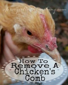 Remove chicken's comb….really? Did you ever think you'd be asking, or googling how to....Read More » afarmgirlinthemaking.com: