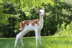 This is a rare piebald deer...abandoned by its mother...being cared for. Her name is Dragon. Sweet baby.