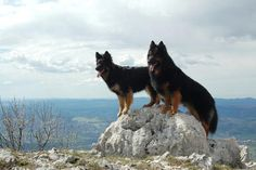 As with the GSD, there should be an obvious sex-related appearance in the Chodsky pes - males should look masculine, females feminine.