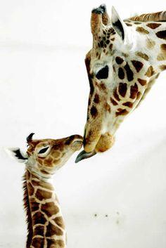 obsessed. i love giraffes.