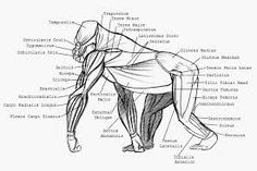 Image result for gorilla anatomy