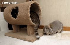 This bunny who's enjoying the wonder and confusion of this cat's tail for the very first time.