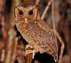 and Reddish Scops Owl (János Oláh) Owl Species, Beautiful Owl, Mundo Animal, Cute Owl, Eagles, The Incredibles, Awesome, Animals, Owl Bird