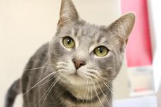 Petango.com – Meet Shirley Ann, a 11 months 17 days Domestic Shorthair / Mix available for adoption in Hagerstown, MD