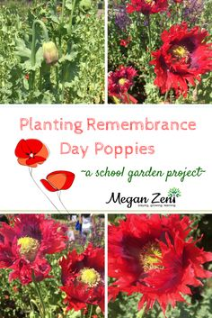 Remembrance Day can be an abstract and complicated concept for young children. Planting Flander's Field Poppies provides children with a meaningful context. Outdoor Education, Outdoor Learning, Flanders Field Poppies, Planting Poppies, Remembrance Day Poppy, Seed Bombs, Outdoor Classroom, Garden Projects, Art Projects