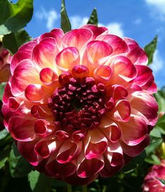 Dahlia - Absolutely Perfect !