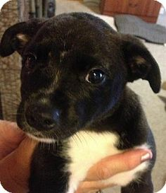 Hagerstown, MD - Border Collie/Beagle Mix. Meet Bootsie, a puppy for adoption. http://www.adoptapet.com/pet/10958923-hagerstown-maryland-border-collie-mix