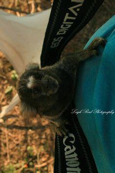 Primates: The Fearless Science of Jane Goodall, Dian Fossey, and Biruté Galdikas Marmoset Monkey, Dian Fossey, Jane Goodall, Orangutan, Primates, A Funny, Climbing, South Africa, Wildlife