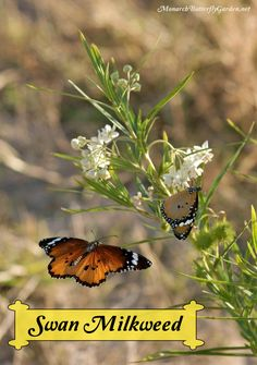 Uncommon Milkweed Idea- Two Danaus chrysippus (plain tiger butterflies) enjoy swan milkweed flowers. Plant this milkweed variety to attract Danaus plexippus (monarch butterflies) to your butterfly garden. It can be grown as a perennial or annual, depending on your region...