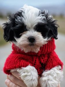 Havanese __ I want one of these