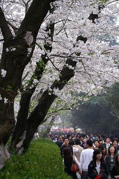 "Sakura Festival on Wuhan University~~~Yup, ""sakura"" is ""cherry blossom"". It's a Japanese flower. Nevertheless, Wuhan University ( or WuDa) is a popular destination when the cherry blossoms are in bloom. Japanese Flowers, Wuhan, Cherry Blossoms, Higher Education, Mother Nature, Yup, To Go, University, Bloom"
