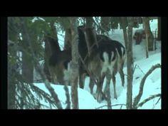Hirvieläimet - Suomen eläimiä - YouTube Forest Animals, Science Education, Science And Nature, Finland, Horses, Natural, Videos, Youtube, Art