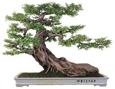 Bonsai (tree in a pot) or ... creating a miniature landscape in a container.