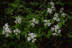 Viburnum erosum var. punctatum
