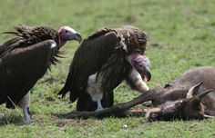 The Lappet-faced Vulture or Nubian Vulture (Torgos tracheliotos) is a mostly African Old World vulture belonging to the bird order Accipitriformes