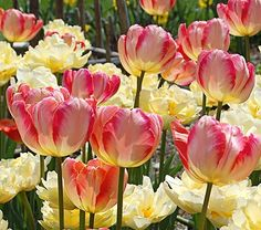 Parrot Feather tulips are already my favorite, but the apricot parrot tulips are simply stunning