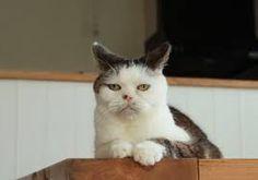「ブサカワ 猫」の画像検索結果