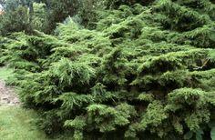 Juniperus chinensis - kinesisk en ('Pfitz')   Foto: HansOtto Tengrud