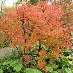 Paperbark Maple  -(Acer griseum)  autumn/winter