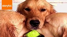 Three Cute Golden Retrievers Hug Over Tennis Ball (Storyful, Dogs)
