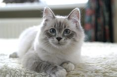 Siberian cat-- love it!! Going to get one