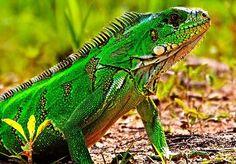 Cómo alimentar a una iguana, ¡te lo contamos!