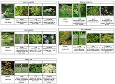 Click the table (above) for a 2-page ID guide to giant hogweed, native cow parsnip, native purple-stemmed Angelica, poison hemlock, and wild parsnip